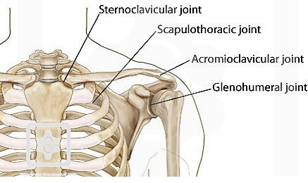 Joints Surrounding the Scapula